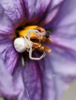 A tiny, pale crab spider lurking in a eggplant blossom on the back patio.