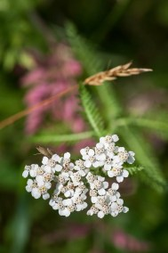 White yarrow with purple vetch in the background out in our front field.