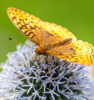 An Aphrodite Fritillary on an ornamental thistle out in our flower garden.