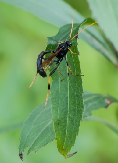 An unidentified wasp out in the front field.