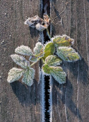 Morning frost on Bishop's Weed out by the pond.