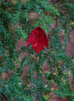 A bright red maple leaf caught in the green of a hemlock branch near Gillette Pond.