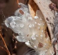 Milkweed tufts arch from a pod like shiny silken fireworks...