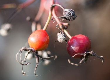 Rosehips ready to be munched...