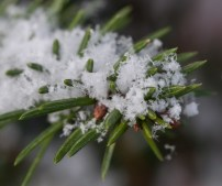 Fresh snowflakes bedeck a dwarf spruce by our front porch yesterday morning.