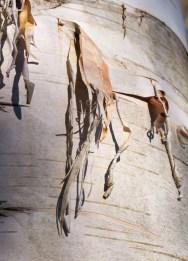 Twists of birch bark peeling from a trunk...