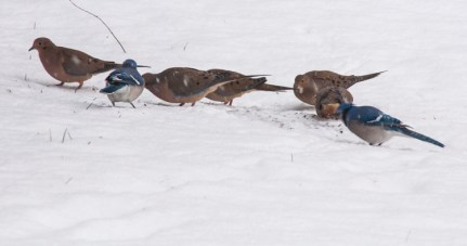Mourning doves and blue jays beneath our feeder...