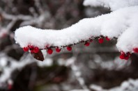 Bright red berries glow beneath a layer of snow on the holly bush by the pond.