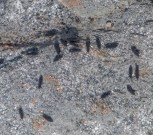 """Snow fleas on a rock along Fargo Brook up close. These tiny """"springtails"""" (1/16"""" long) are abundant in leaf litter and you'll often see them at the base of trees on warm winter/spring days."""