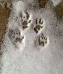 A fine set of squirrel tracks on the studio steps.