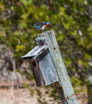 A bright male bluebird alights on one of the boxes in our front field.