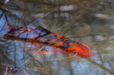 One of our resident Koi trolls the edges of our pond.