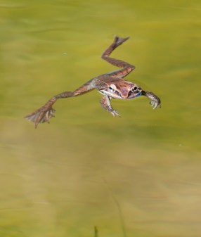 A wood frog stares me down in the pond...