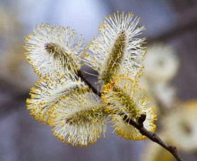 Willows flowering along Taft Road.