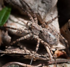 A thin-legged wolf spider patrols the rocks and leaf litter along Fargo Brook.