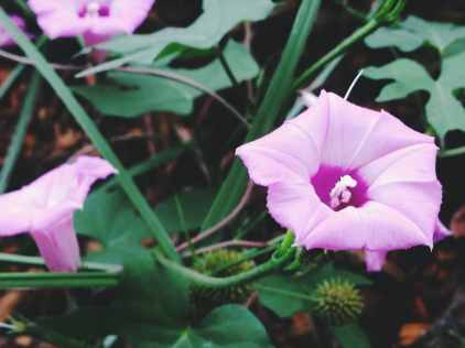 Purple Flower - East Texas Homestead