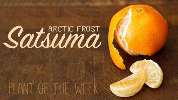 You Can Grow Citrus In Texas - Arctic Frost Satsuma