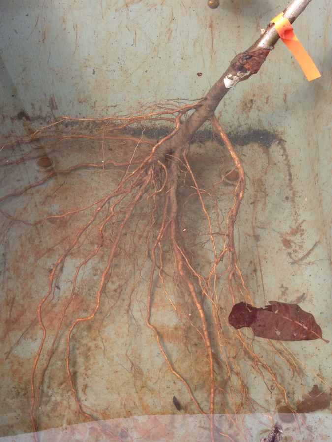 soaking the roots of the lapins cherry tree