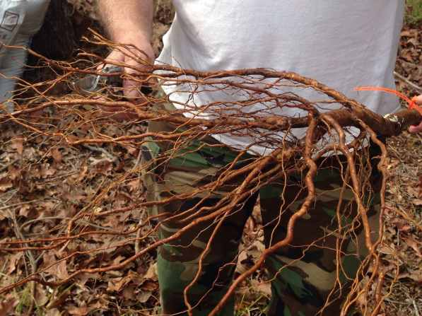 trimming the roots of the lapins cherry tree 2