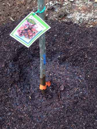 Planting the lapins cherry tree 4