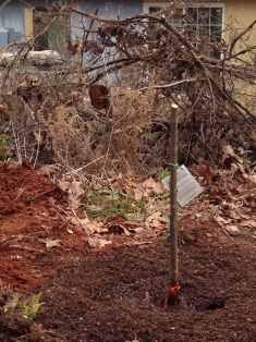 Planting the lapins cherry tree 1