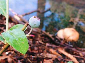 A beautiful image of a blueberry clinging to the plant. In the background, you see wood mulch and standing water reflecting the sky