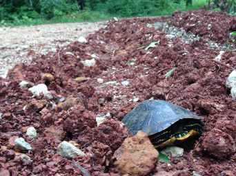 A medium size box turtle peeking out of his shell in the middle of a muddy driveway.