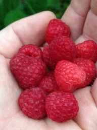 a hand full of bright red organic raspberries.