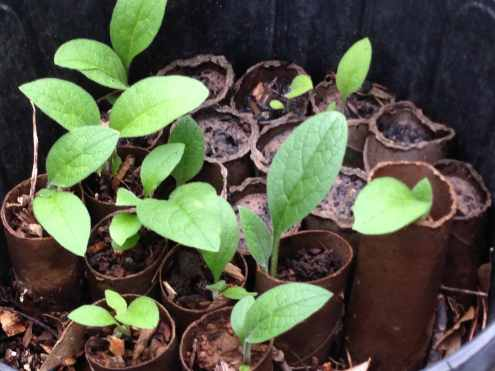 comfrey being grown in toilet paper tubes on the East Texas Homestead