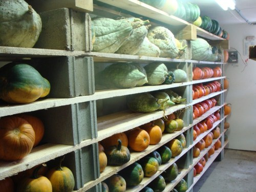 2012 Winter squash in storage