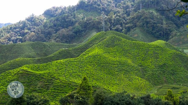 Cameron Highlands-28
