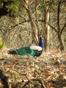 Miten tämän näköinen lintu voi selviytyä villissä luonnossa?