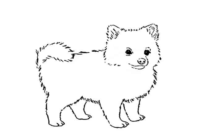 How To Draw A Pomeranian Step By Step Easy Animals 2 Draw
