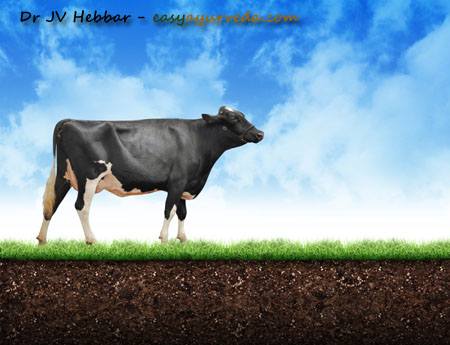 Cow urine Therapy Benefits, Research, Precautions