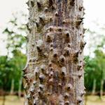 Shalmali, Silk Cotton Tree – Ayurveda Use, Formulations, Home Remedies