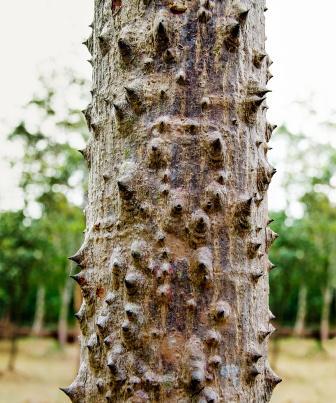 Shalmali, Silk Cotton Tree: Ayurveda Use, Medicines, Home