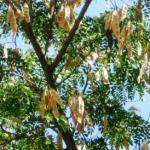 Shirisha, Albizia lebbeck- Uses, Medicinal Qualities, Ayurveda Details