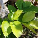 Karanja – Pongamia pinnata:Uses, Side Effects, Research