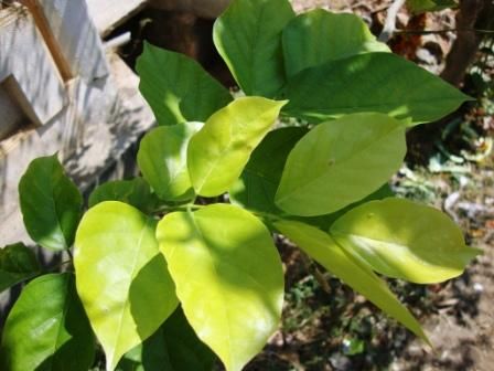 Karanja – Pongamia pinnata: Uses, Side Effects, Research