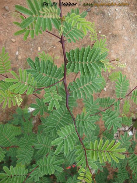 Khadira - Acacia catechu leaves