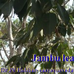 Jambul leaves
