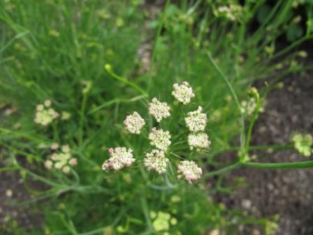 Black Caraway Benefits, Usage, Dose, Side Effects – As Per