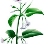 Paederia foetida – Gandha Prasarini – Benefits, Usage, Dose, Side Effects