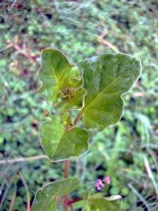Punarnava Boerhavia diffusa Benefits, Dose, Side Effects