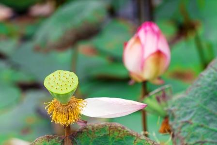 Lotus Nelumbo Nucifera Benefits Side Effects Research
