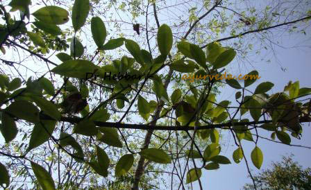 Kokum Garcinia Indica Uses Dose Research Side Effects