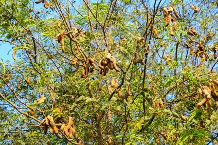 Tamarind tree with fruits