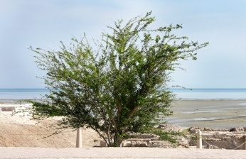 Babool Tree - Acacia arabica