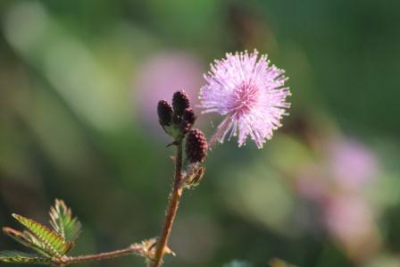 Lajjalu flower