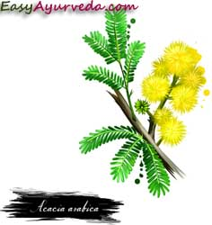 Babool Tree Uses Dose Side Effects Ayurvedic Medicines Easy